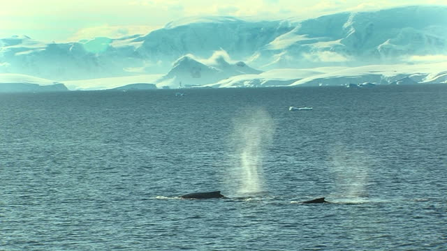 two whales in antarctica