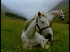 Two white horses one seated next to camera the other standing behind in spring meadow