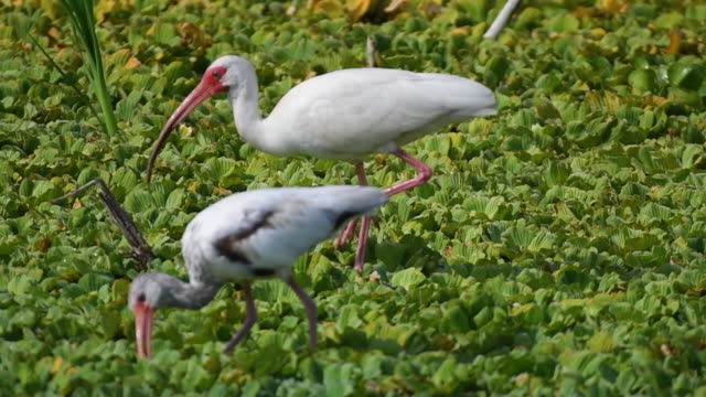 Two White Ibis Searching for Food
