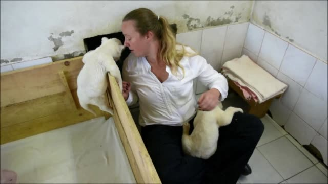 Two white lion cubs an extremely rare subspecies of the African lion were recently born at Belgrade Zoo