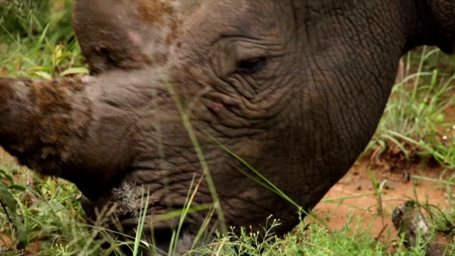 CU Two white rhinoceros grazing on grass/ South Africa