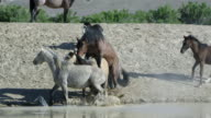 Two wild horses mating as other horses seem concerned