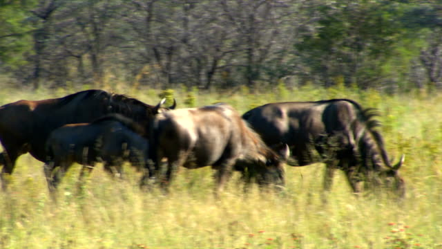 Two wildebeest standing in a veld/ Entabeni Private Game Reserve/ South Africa