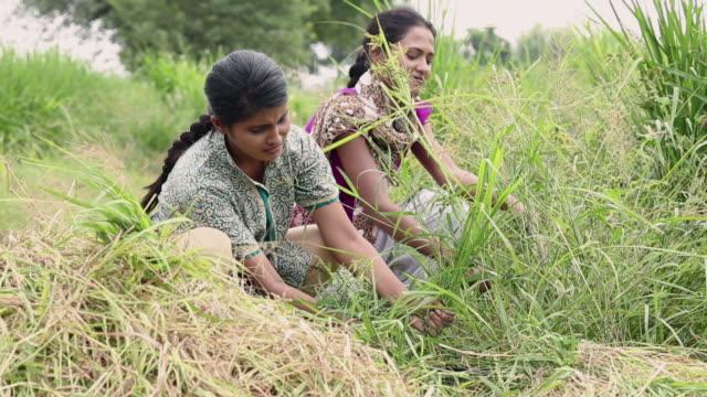 Two women cutting plant in the farm, Haryana, India