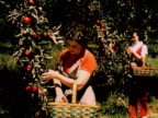 1960 MONTAGE MS two women picking apples from tree / two women picking peaches from treet / USA