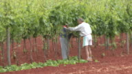 WS Two workers tending to vines / Koroniki, Croatia
