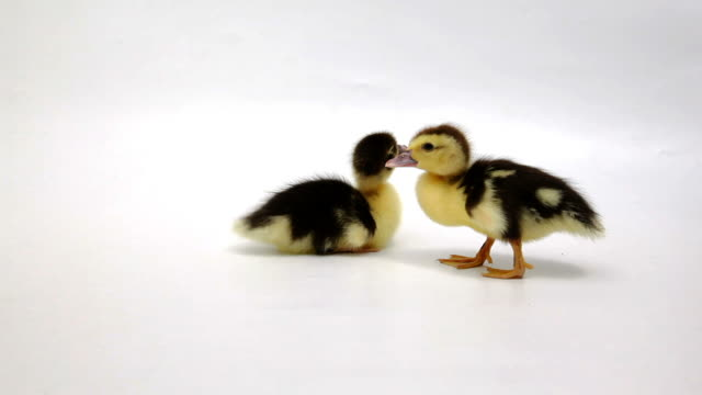 Two yellow and black ducklings