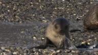 CU, Two young Antarctic Fur Seals on pebbled beach, Antarctica