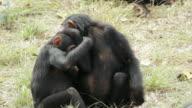 MS Two young chimpanzees playing / Chingola, Copperbelt, Zambia