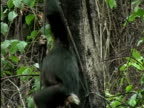 MS, TU, Two young chimps (Pan troglodytes) hanging on tree vine and playing, Gombe Stream National Park, Tanzania