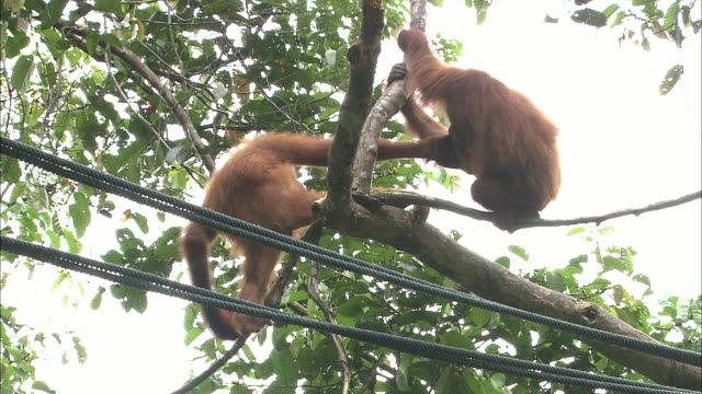 Two young orangutans frisk on a tree in Borneo, Malaysia.