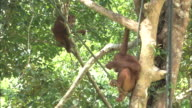 Two young orangutans on a tree in Borneo, Malaysia.