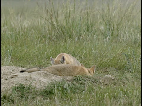 MS, PAN, Two young Swift Foxes (Vulpes velox) playing in grass, Alberta, Canada