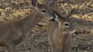 Two young white tail deer, fawn, Bambi, eat and look around, alert for danger.
