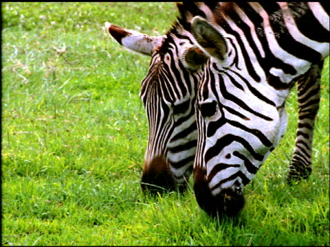 Two zebra graze in South African field