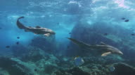 Twee Zebra luipaard haaien (Stegostoma fasciatum)