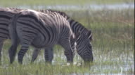 Two zebras graze on grass in a swamp. Available in HD.