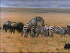 PAN two zebras mating on plain near other zebras + wildebeests / Africa