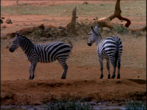PAN two zebras running + playing on dusty plain / join others drinking at watering hole / Africa