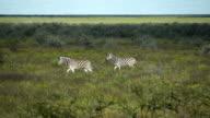 Two zebras walking through savannah