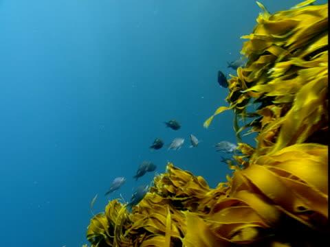 Two-spot demoiselles swim near bright yellow kelp in the ocean.
