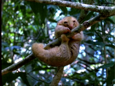 Two-toed Silky Anteater, MS anteater moves about on branch, gets comfy and curls up, Panama