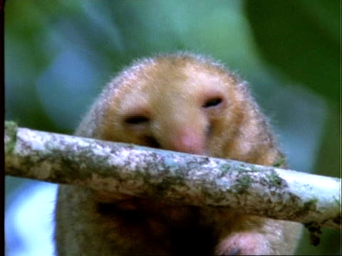 Two-toed Silky Anteater, BCU anteater moves about on branch, Panama