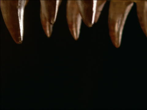 E tyrannosaurus rex teeth, E, ECU