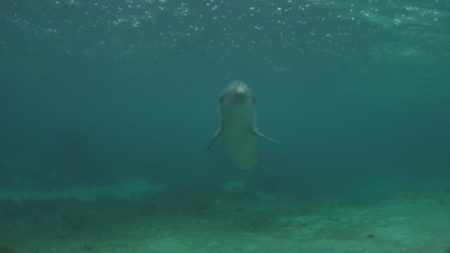 Underwater 2 Bottlenosed Dolphins swim to camera with rain on surface