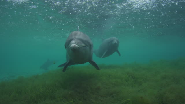 Underwater 2 Bottlenosed Dolphins swim very close to camera with rain on surface over seagrass