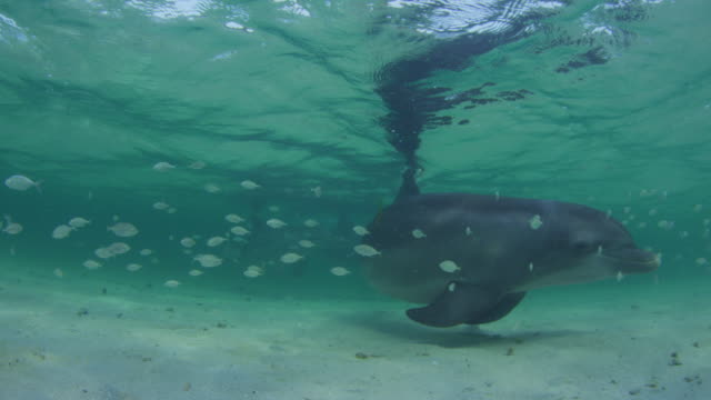 Underwater Bottlenosed Dolphin hydroplaning and turning past camera in shallow sea with fish in foreground