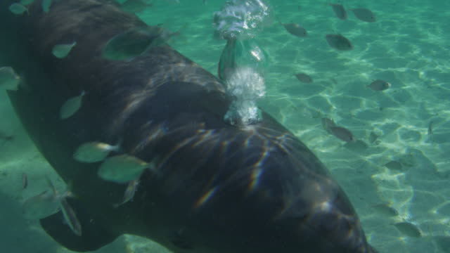 Underwater CU Bottlenosed Dolphin surrounded by fish breathing out through blowhole