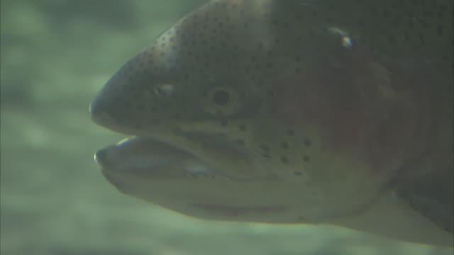 Underwater close up shot of an Alaskan Salmon swimming