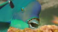 / underwater closeup of Pacific steephead parrotfish scraping algae off a coral reef Looking straight into camera
