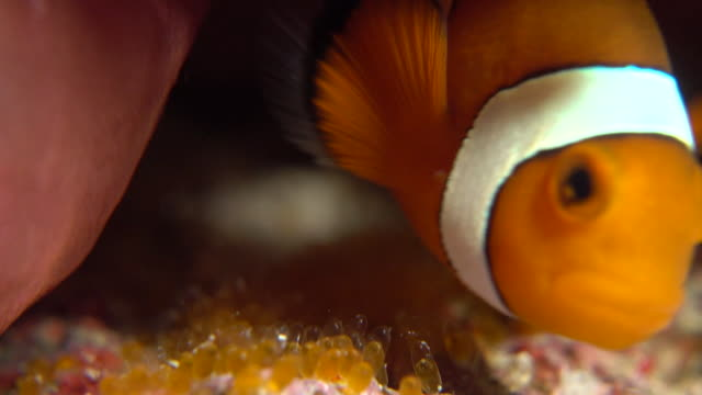 Underwater footage in the Kerama Islands; A common clownfish (Amphiprion ocellaris) fanning its eggs in the sea off the Kerama Islands, Okinawa, Japan