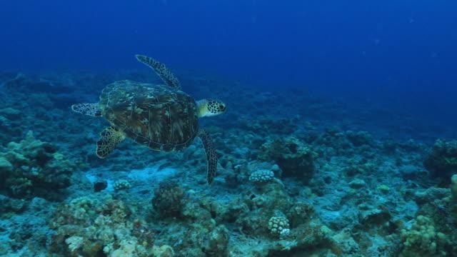 Underwater footage in the Kerama Islands; A loggerhead turtle (Caretta caretta) leisurely moving through the sea, Okinawa, Japan