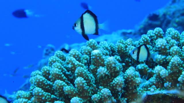 Underwater footage in the Kerama Islands; Coral and two-stripe damselfish (Dascyllus reticulatus) in the sea off the Kerama Islands, Okinawa, Japan
