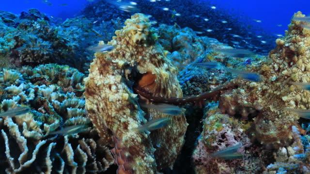 Underwater footage in the Kerama Islands; Octopi mating in the sea off the Kerama Islands, Okinawa, Japan