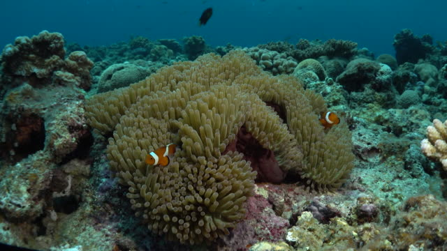 Underwater footage in the Kerama Islands; Several common clownfish (Amphiprion ocellaris) darting in and out of a sea anemone, Okinawa, Japan