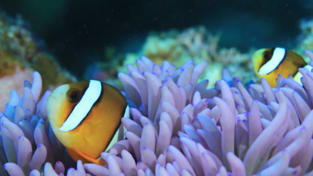 Underwater footage in the Kerama Islands; Two common clownfish (Amphiprion ocellaris) in the sea off the Kerama Islands, Okinawa, Japan