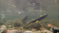 Underwater footage:Female chum salmon (Oncorhynchus keta) preparing to spawn,Hokkaido,Japan