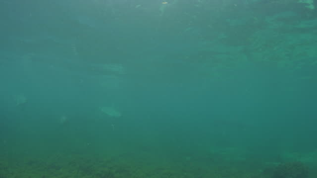 Underwater group of Bottlenosed Dolphins swim past very close to camera