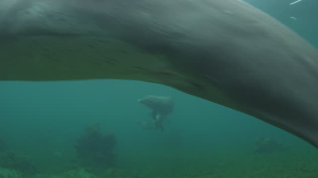 Underwater group of Bottlenosed Dolphins swim very close to camera and touching