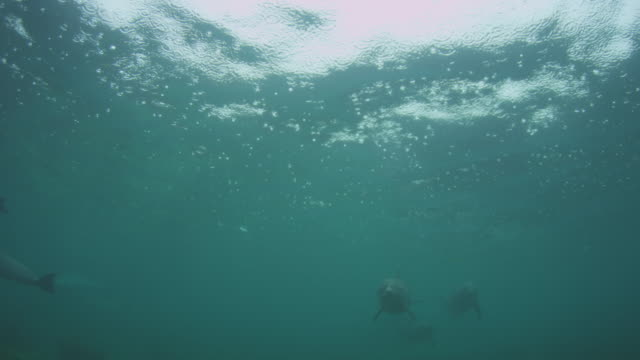 Underwater group of Bottlenosed Dolphins with young calf swimming to camera below surface in rain