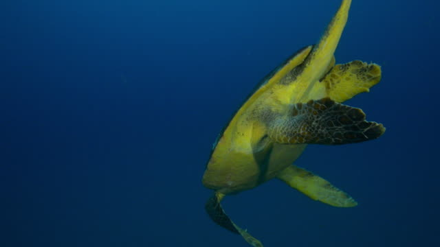 Underwater MS Hawksbill Turtle swimming in open water then diving towards seabed