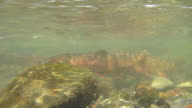 Underwater HD video spawning cutthroat trout Yellowstone National Park