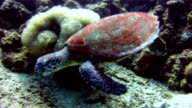 Underwater image of a wild Hawksbill Sea Turtle (Eretmochelys imbricate) eating coral.  Listed as Critically Endangered (facing an extremely high risk of extinction in the wild in the immediate future). These animals are extremely rare.