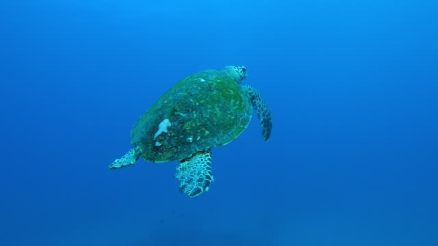 Underwater MS into WS Hawksbill Turtle swims from camera towards surface