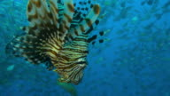 Underwater MS into ECU Lionfish floating head down with massed shoals in background