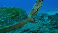 Underwater MS into CU track around Hawksbill Turtle searching for coral